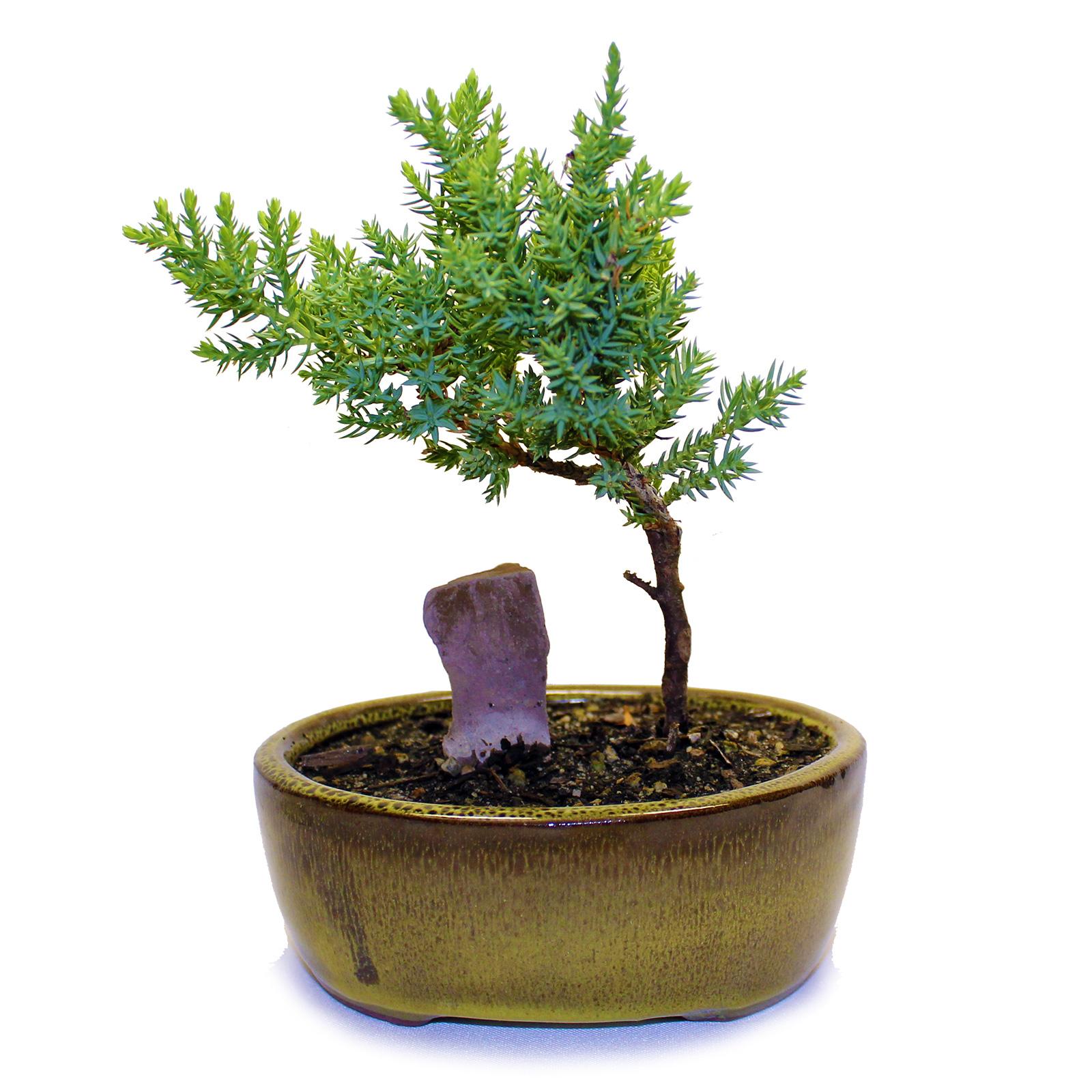 Indoor Zen Mini Rock Juniper Bonsai Tree Brown Vase