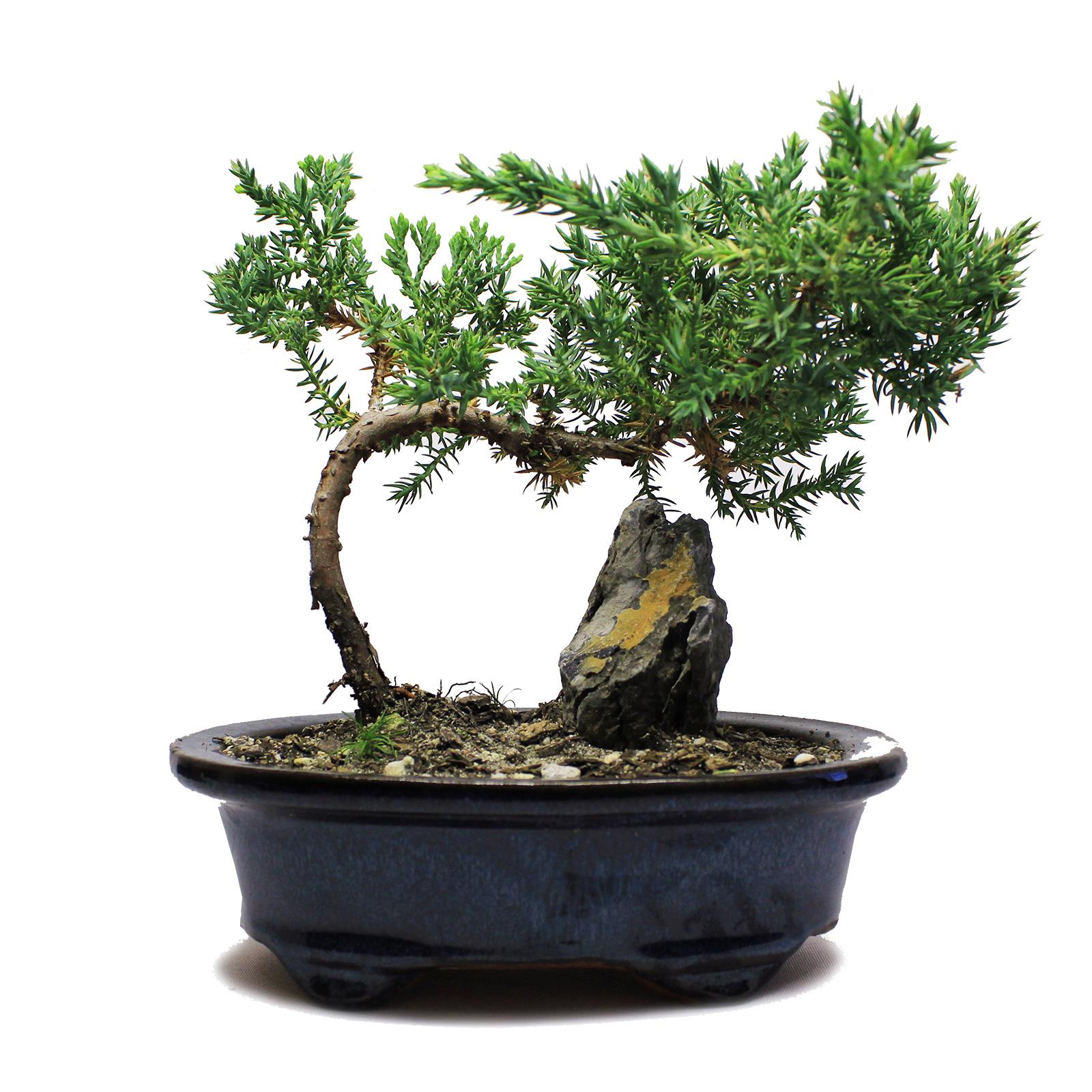 Rock juniper bonsai tree