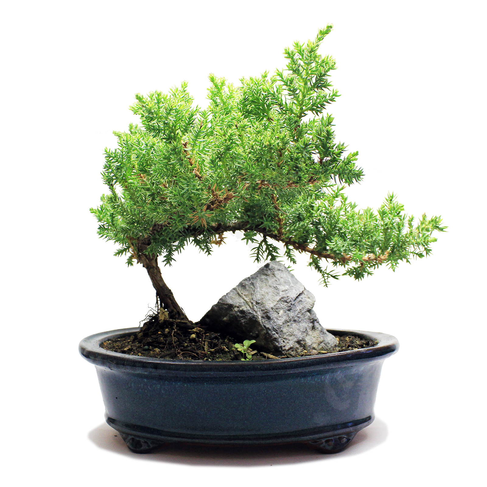 Indoor Zen - Medium Rock Juniper Bonsai Tree 8\