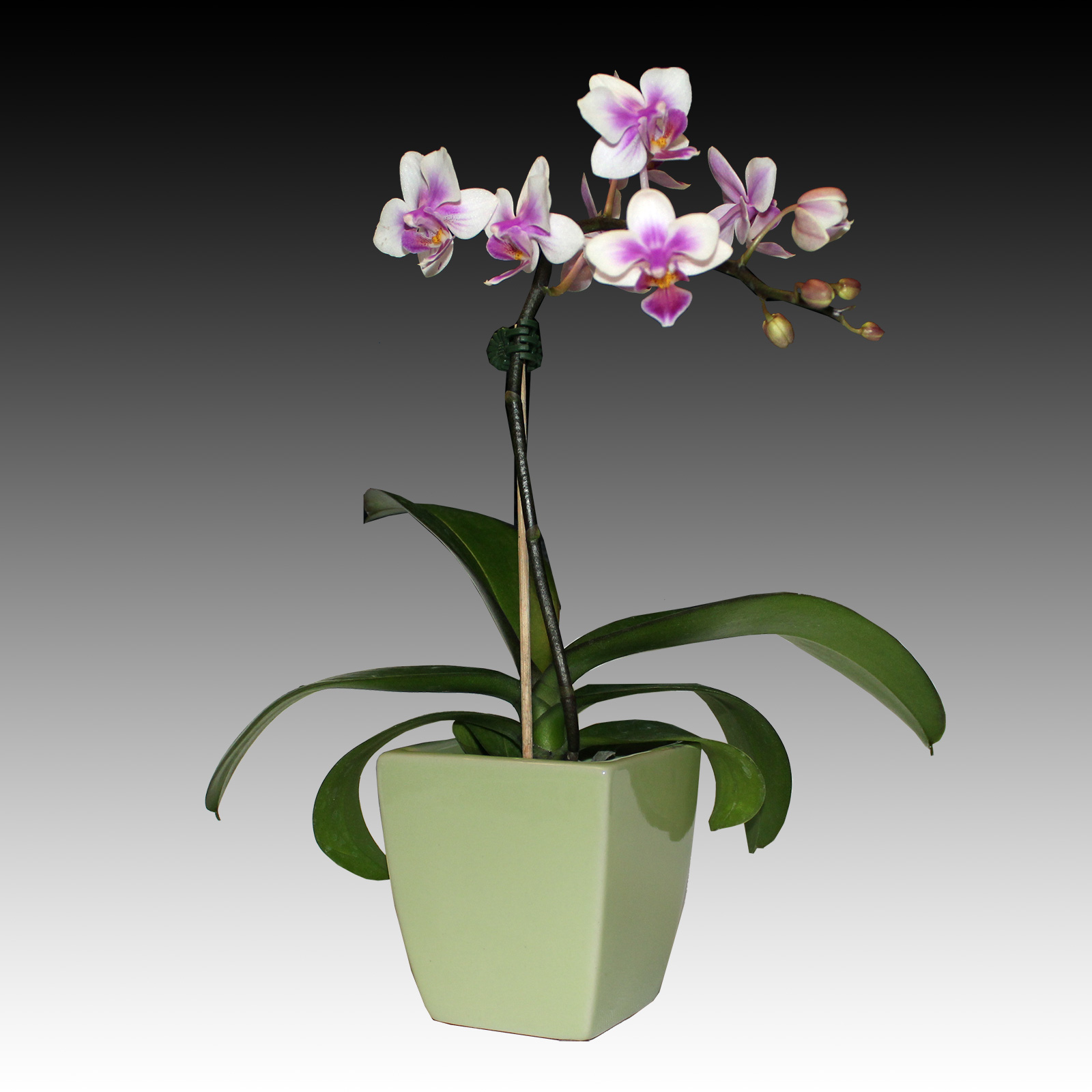 Indoor Zen Small Phalaenopsis White Pink Orchid Flower Green Vase