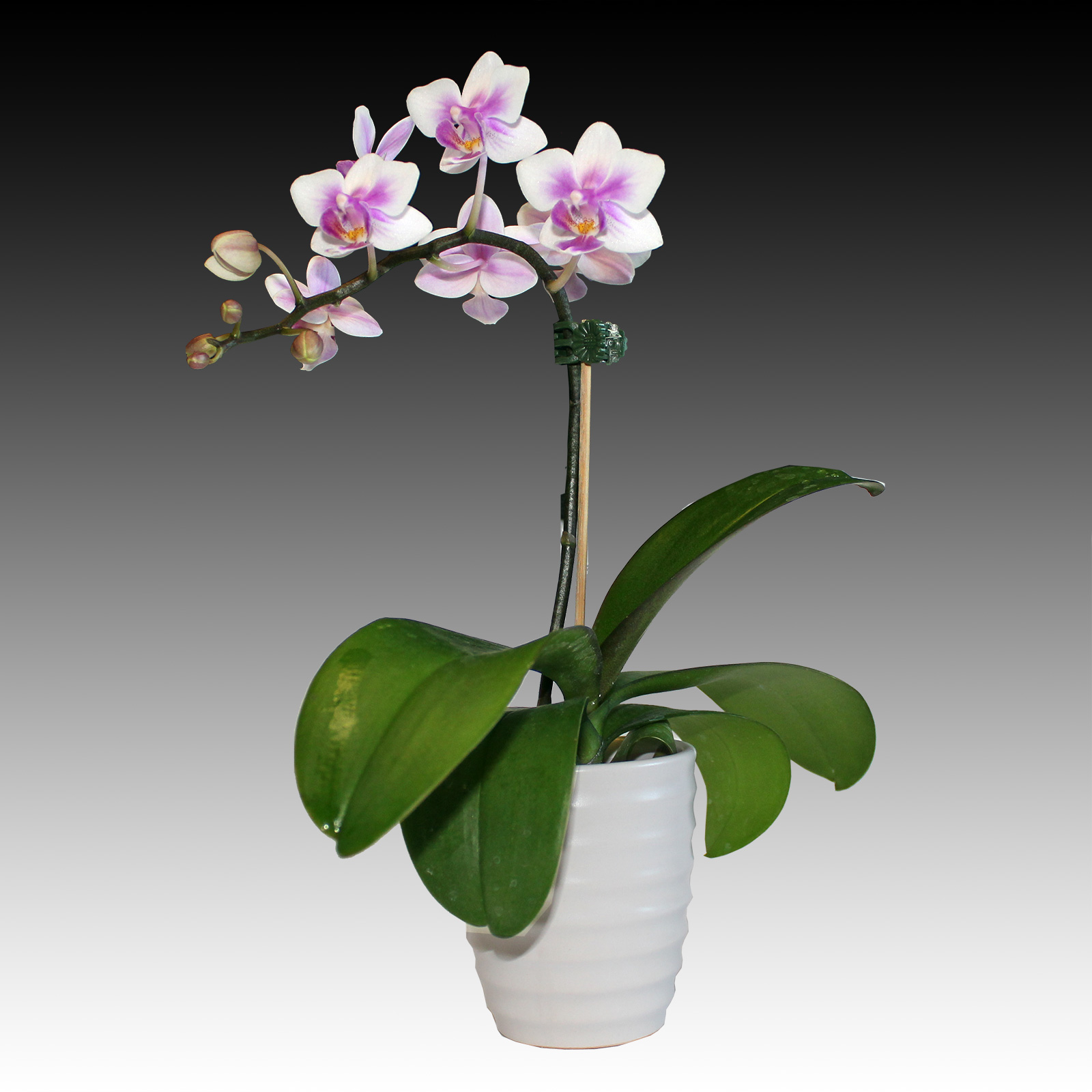 Indoor Zen Small Phalaenopsis White Pink Orchid Flower White Vase
