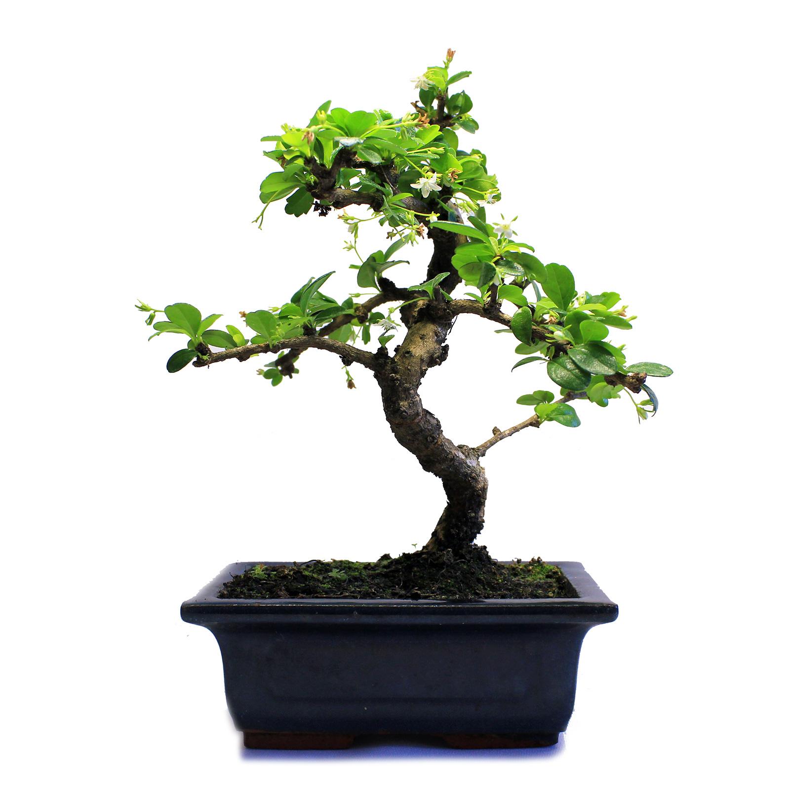 Indoor zen small flowering tea tree for Short trees